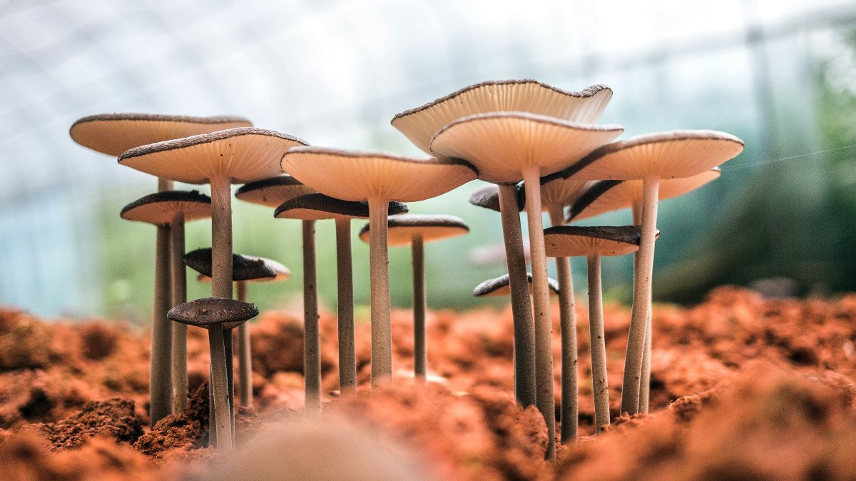 Mushrooms Dispensary